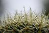Echinocactus grusonii – Schwiegermuttersitz