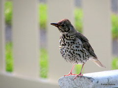A Happy Thrush.