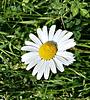Just a daisy on the dog walk :-)