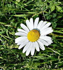 Just a daisy on the dog walk :-)