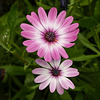 Pink (African?) Daisies