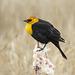 Yellow-headed Blackbird / Xanthocephalus xanthocephalus, male