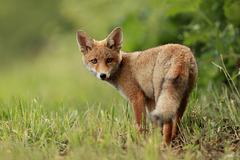 Jeune renard de l'année...
