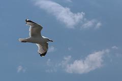 Herring gull over Stone Pier, Weymouth