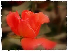 Cette Rose pour vous souhaiter un bon WE ....!