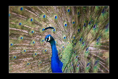 Peacock - Profile