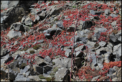 Sedum album sur basalte