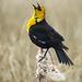 Yellow-headed Blackbird / Xanthocephalus xanthocephalus, calling