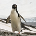 Adelie Penguin (2xPiP)