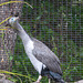 Spotted Shag (2) - 21 February 2015