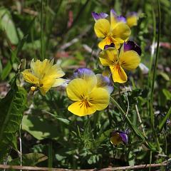 Viola tricolor- les petites pensées de mon pré