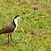 Plover lapwing