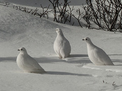 White-tailed Ptarmigan in the sun