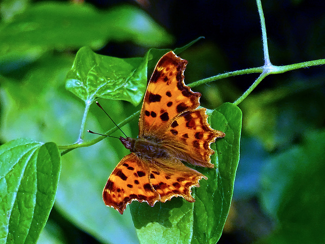 Comma Butterfly, Voerendaal _Netherlands
