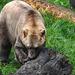 20170928 3166CPw [D~OS] Mischlingsbär [Vater: Eisbär (Ursus maritimus) + Mutter: Braunbär (Ursus arctos), geb. im Zoo 2004, Osnabrück