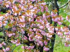 Cerisier du Japon ou Sakura**************