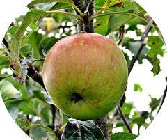 An Apple.