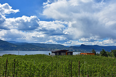 Weinberge im Okanangan Valley, BC, Canada -  PIP