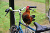 Rooster bicycle