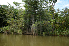 Guatemala, Aerial Roots of Coastal Plants in the Chocón Machacas Protected Biotope