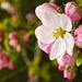 April Joy, Apple Blossom