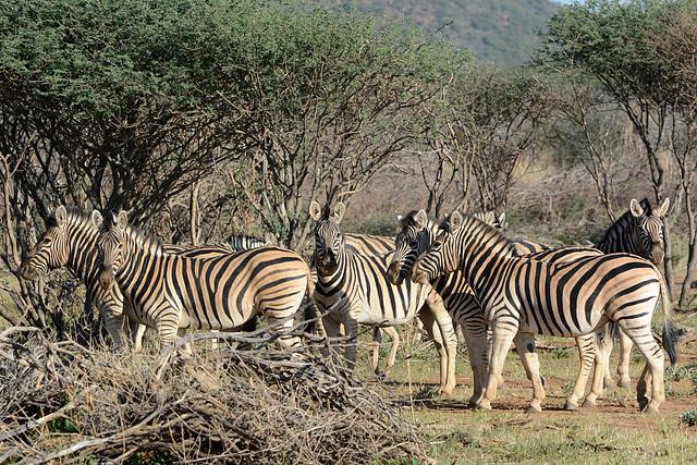 Namibia, Zebras in the Erindi Game Reserve