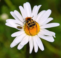 Pinselkäfer und Glänzender Blütenprachtkäfer