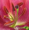 Lily macro 091316