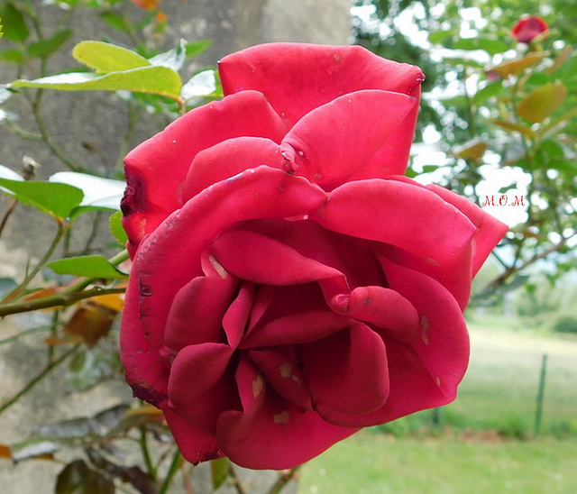 Ma rose ***************pour vous**********