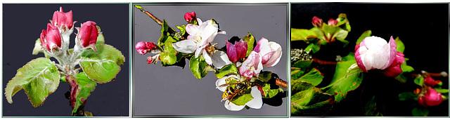 Apfelblüten zum 1. Mai. ©UdoSm