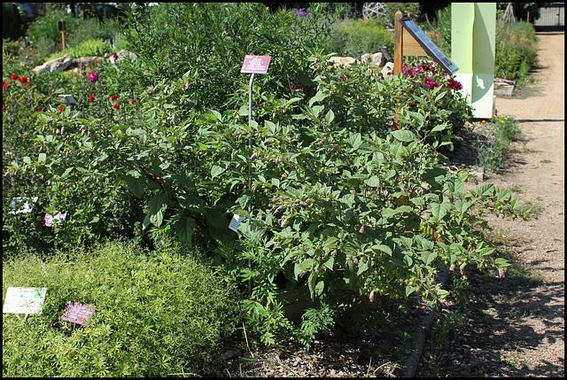 Atropa belladona (4)