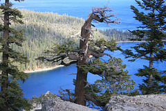 Tree and Emerald Bay
