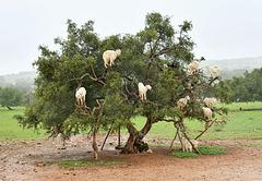 Arganier ou arbre aux chèvres