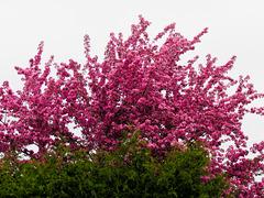 Pommier décoratif en fleurs !