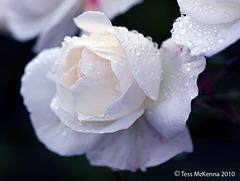 Rose 019