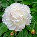 bela floro