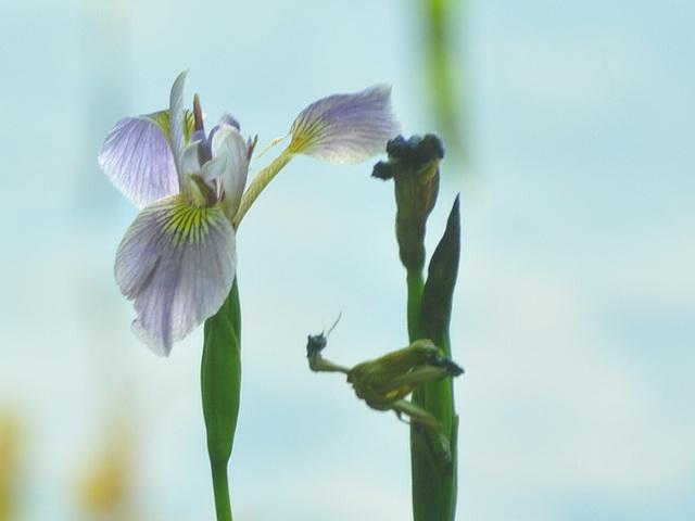 st bruno Iris june 2015 CSC 1947