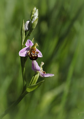 """Ophrys très """"happy"""""""