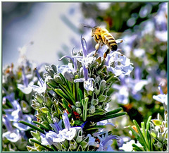 'Rosemary bee'... ©UdoSm