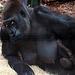Nous vous présentons Gorillon , arrivé la semaine dernière .