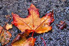 1 (12)...austria autumn natur...herbst blatt..leaf