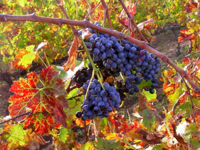 Grappe de raisins sous le Soleil d'automne
