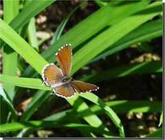 Cacyreus marshalli imago