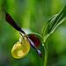 Die Königin der Orchideen - The queen of orchids -mit PiP