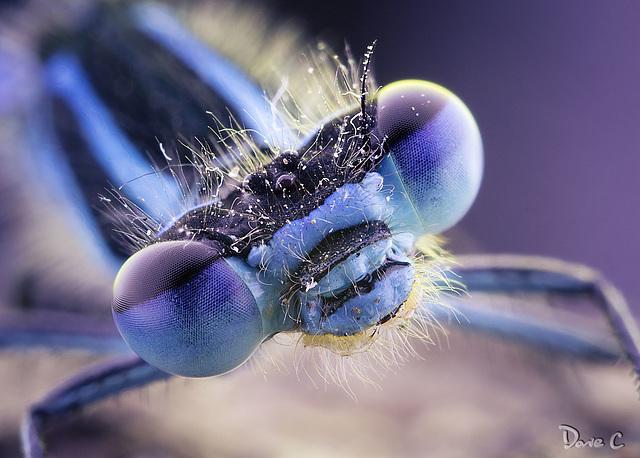 Damsel Fly Portrait