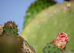 Cactus in bud 1