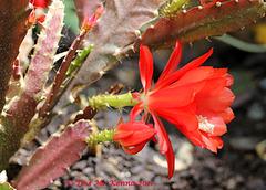 Epiphyllum ackermannii   127