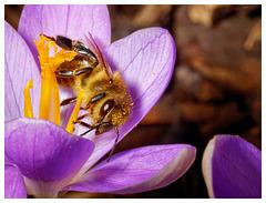 Pollensammlerin (PiP)