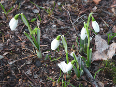 The first snowdrops already...