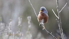Fauvette pitchou - Sylvia undata - Dartford Warbler